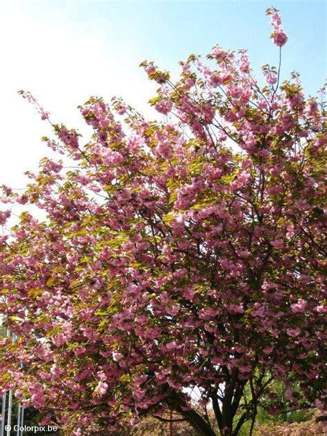 3 cherry tree photo japanese cherry tree 3 img 4835