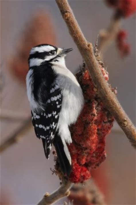 how to deal with problem woodpecker in delaware
