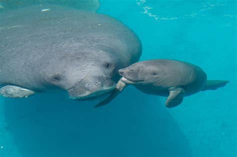 Cooldeck by Seaworld Orlando Rescued Manatee Birth Tribunedigital