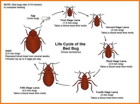 bed bug life span bed bug life cycle thermalrid nashville tn