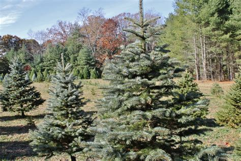 virginia christmas tree growers association central