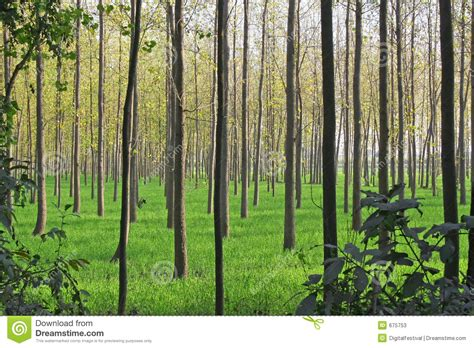 tree farming agriculture cultivation and poplar tree farming stock