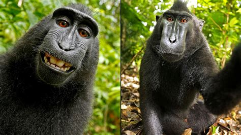 peta sues photographer david slater to try and get a peta photographer settle suit over rights to monkey s