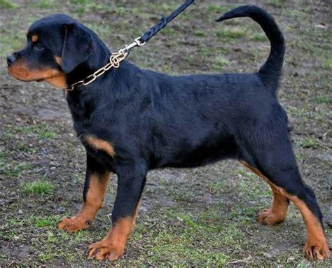 rottweiler schutzhund rottweiler bully pitbull doberman puppies breeds picture