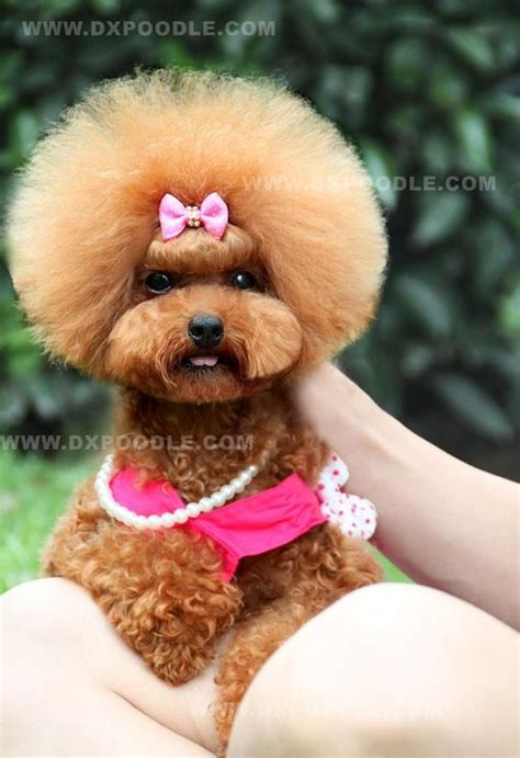 diffrent cuts for toy poodles 17 best images about poodle cuts clips styles on