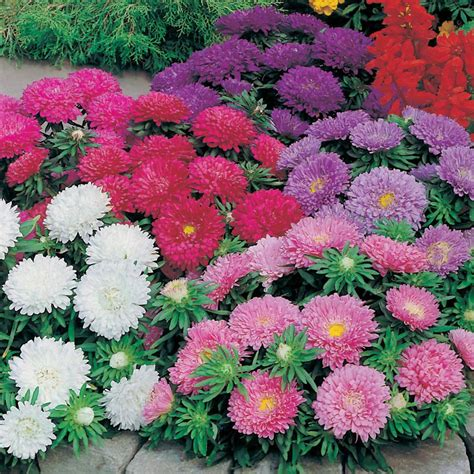Jual Bibit Bunga Aster jual benih biji bunga aster colour carpet mixed hias