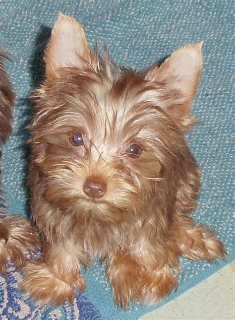 yorkie chocolate 40 best images about chocolate yorkies on stud muffin yorkie and 9 month olds