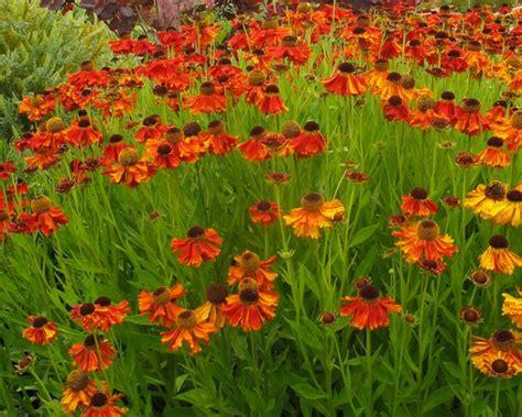garten zierpflanze eine tolle zierpflanze mit sonnenbraut bl 252 ht ihr garten