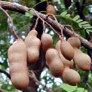 Benih Bibit Biji Sweet Tamarind Asli Thailand Manis Import 1 jual bibit unggul tanaman sweet tamarind bibit