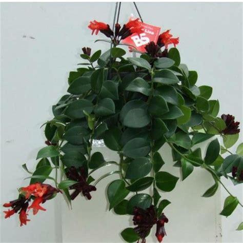 aeschynanthus mona lisa lipstick vine garden