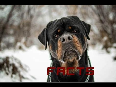 facts about rottweilers rottweiler facts and info