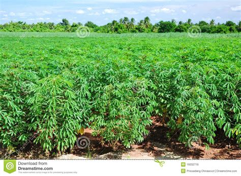 images of plants cassava plant field stock photo image of farm