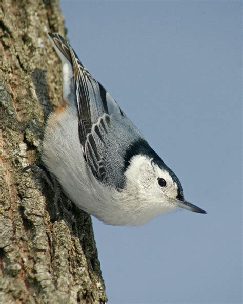 birds white breasted nuthatch