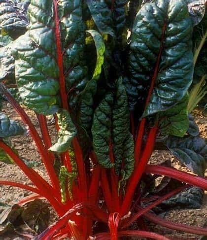jual benih chard rhubarb vulcan 10 biji non retail bibit