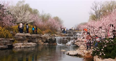 Panoramio Photo Of Peach Flowers At Beijing Botanical Garden Beijing Botanical Garden