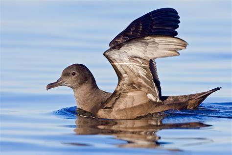 sooty shearwater audubon field guide