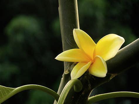 Flower Bunga bunga kamboja flower of bali by arumdyaharum on deviantart