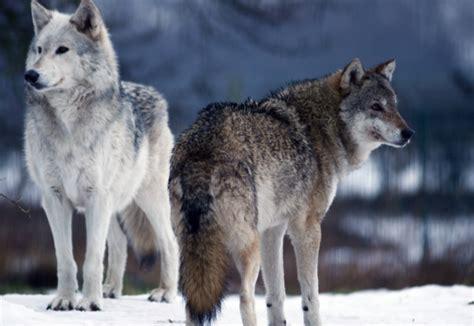 minicuentos de lobos y los lobos utilizan la mirada para comunicarse y coordinarse entre s 237 ecoosfera