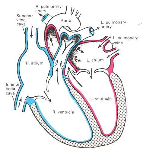 heart cross section diagram heart cross section anatomy human anatomy charts