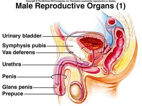 human sexual diagram organ diagram
