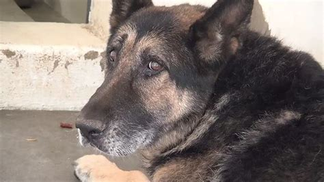 saving carson shelter dogs 17 best images about gsds don t mess with the dogs on german