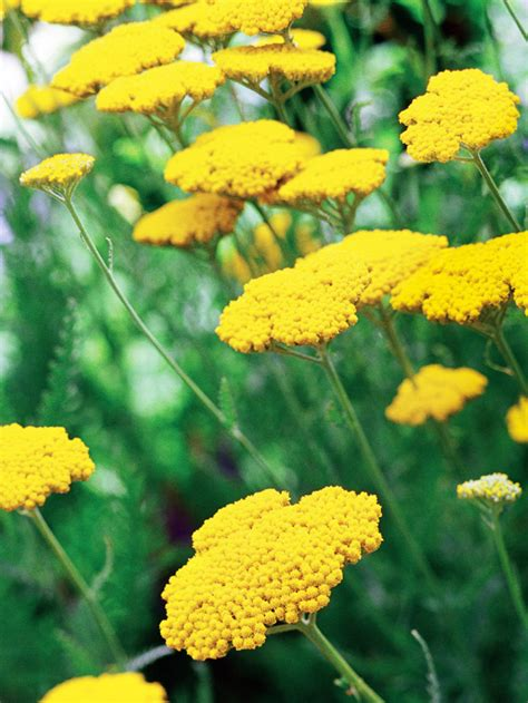 featured plants drought tolerant perennials