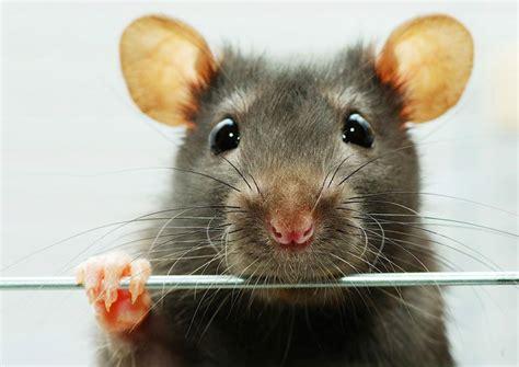 imagenes de ratas halloween ver una rata ampuero