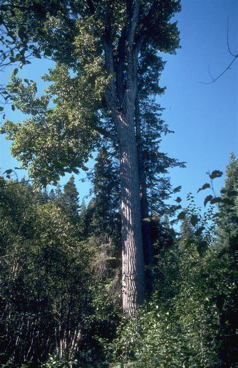 black cottonwood populus balsamifera ssp trichocarpa