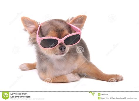 Dining Chair Styles by Smart Dog Chihuahua Puppy With Sunglasses Royalty Free