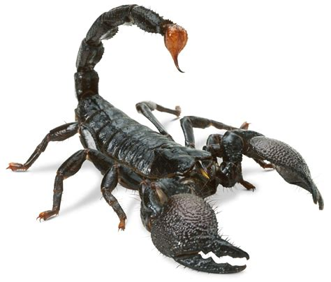 scorpion images scorpion facts scorpion information dk find out