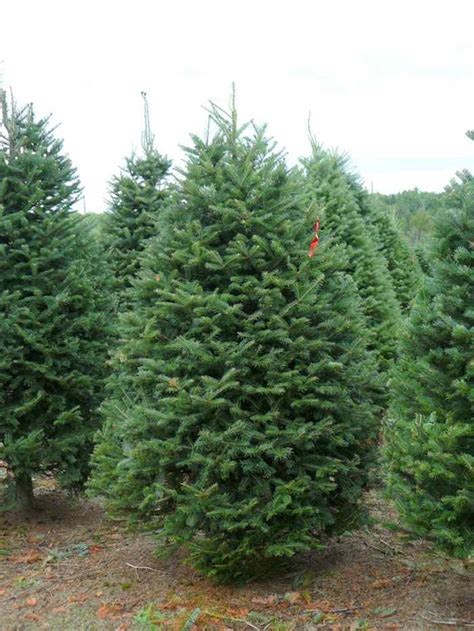 balsam fir coniferous forest