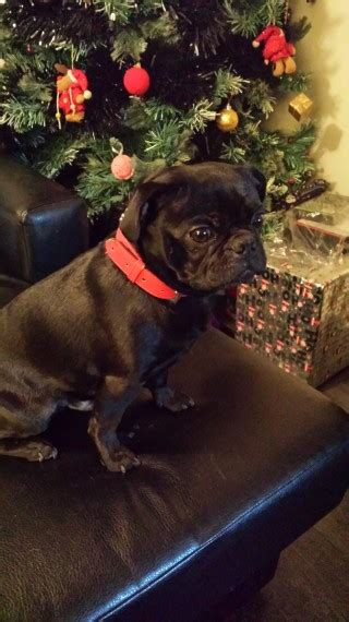 pugs for sale in staffordshire pug for sale tamworth staffordshire pets4homes