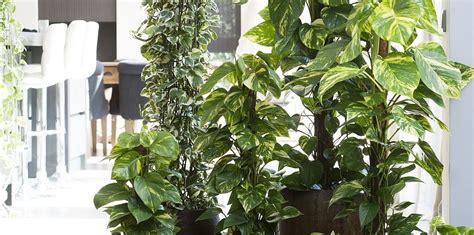 piante per appartamento le piante sempreverdi ideali per le vostre stanze