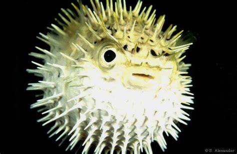 Puffer Fish L puffer fish animal wildlife