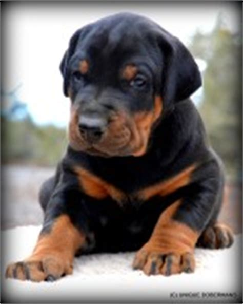 doberman puppies for sale in oregon search locally for doberman pinscher puppies and dogs nearest you freedoglistings
