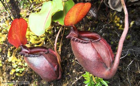 tropical rainforest carnivorous plants nature tropical pitcher plants news and facts