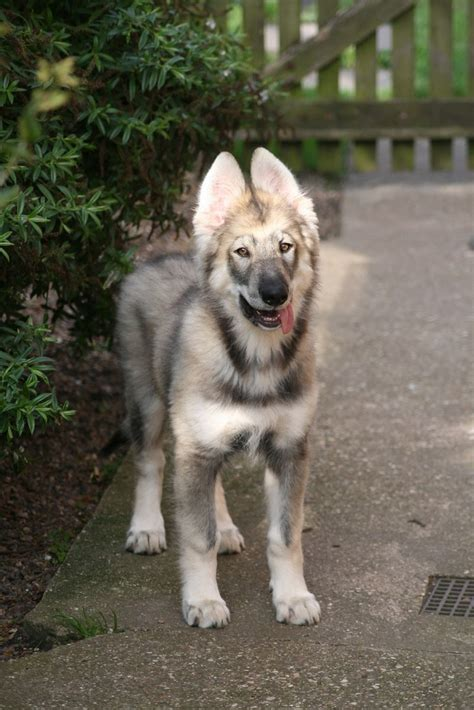 northern inuit puppies northern inuit puppy photo and wallpaper beautiful northern inuit