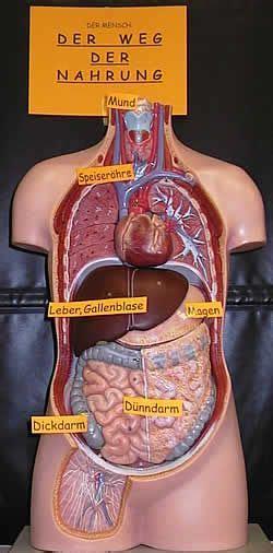 rheuma innere organe best 25 innere organe mensch ideas on