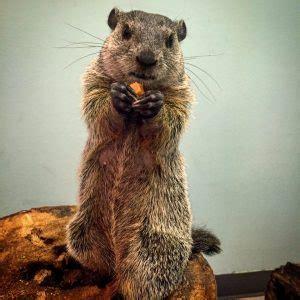 groundhog day 2016 brookfield zoo groundhog day birmingham zoo
