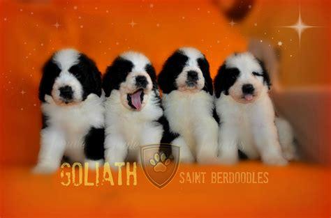 puppies albany ny bernard rescue albany ny 4k wallpapers