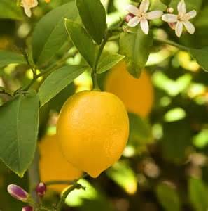 how to take care of a lemon tree