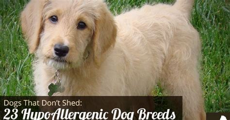 sythetic hair that dont shered goodbye hair 23 dogs that don t shed hypoallergenic dog