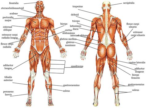 Muscles Worked In Bench Press Muscle Archives Page 21 Of 36 Human Anatomy Chart