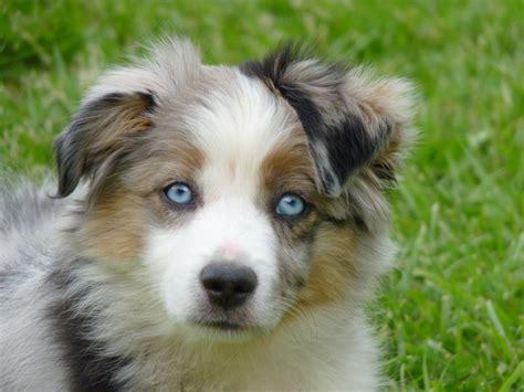 google imagenes variadas mini chien berger australien recherche google perros