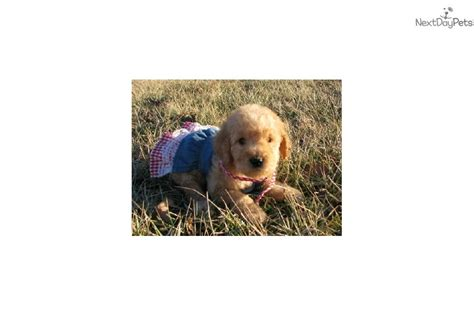 goldendoodle puppies for sale tulsa ok goldendoodle puppy for sale near tulsa oklahoma