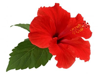 which state has a hibiscus growing tropical hibiscus what you need to know palmers garden centre