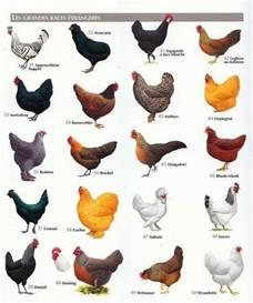 can chickens see color best 25 chicken breeds ideas on hens chicken
