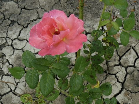 heat l for plants heat tolerant roses for the garden what are some drought