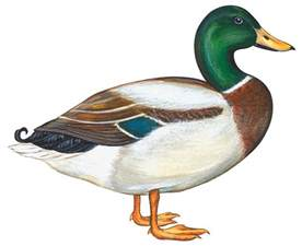 Mallard Duck Home Decor mallard duck painting by anonymous