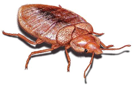 biggest bed bug asheville takes a bite out of orkin s bed bug list